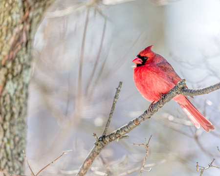 Cardinal In Snow Reklamní fotografie