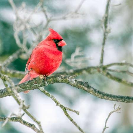 Cardinal In Winter Reklamní fotografie