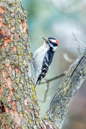 downy: Downy Woodpecker In Winter Stock Photo