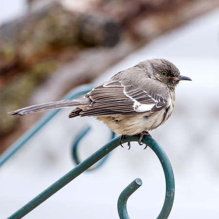 mockingbird: Mockingbird perched on Green plant hanger