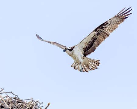 Osprey In Flight Approaching Nest photo