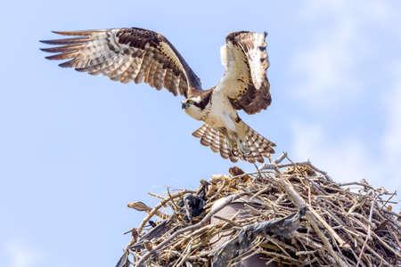osprey: Osprey In Flight Approaching Nest