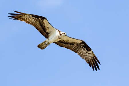 wing span: Osprey In Flight  Stock Photo