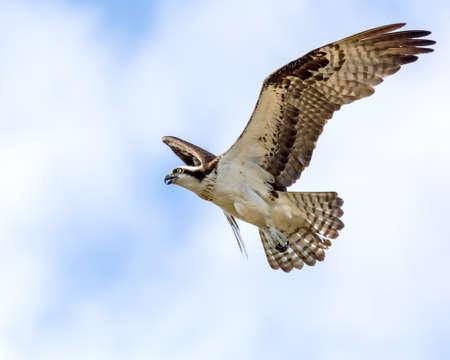 Osprey In Flight  Imagens