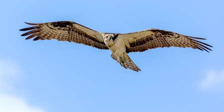 span: Osprey In Flight  Stock Photo