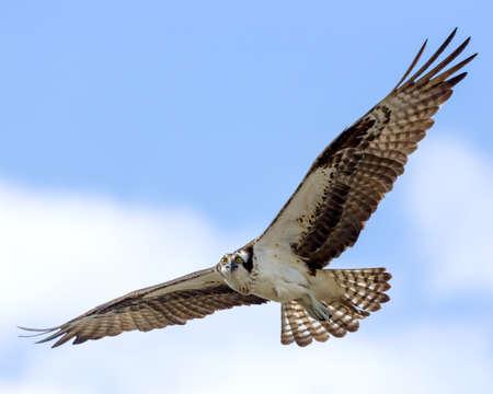 osprey: Osprey In Flight  Stock Photo