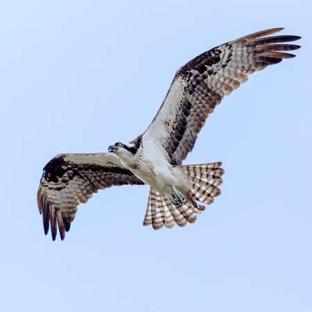 Osprey In Flight  photo