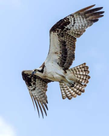 Osprey In Flight  Stock fotó