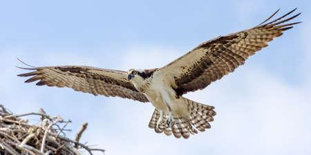 Osprey In Flight Approaching Nest