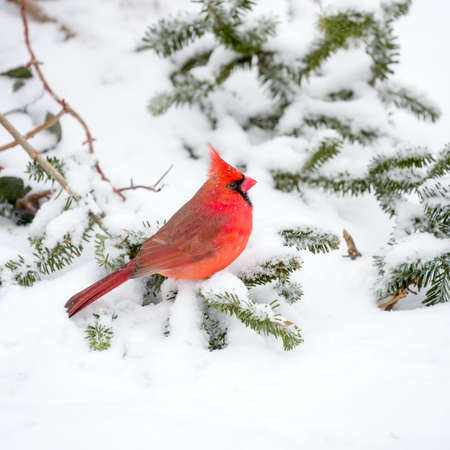 bird feathers: Male Cardinal perched on snow covered branch in snowstorm Stock Photo