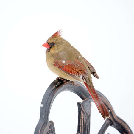 Female Cardinal perched on snow covered branch in snowstorm