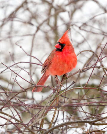Male Cardinal perched on snow covered branch in snowstorm Stock fotó