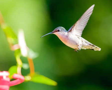 Hummingbird at Red Feeder Stock fotó