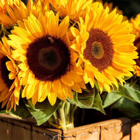 wood crate: Sunflowers in Wood Crate Stock Photo