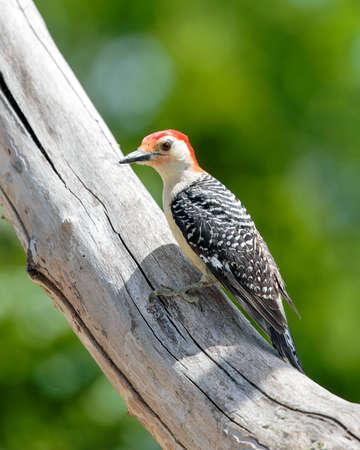 Red Bellied Woodpecker perched in tree Stock fotó