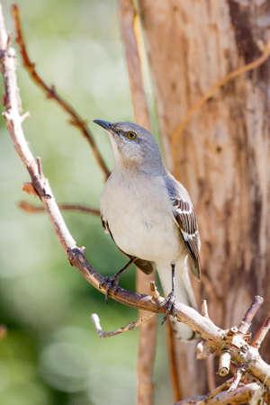 mockingbird: Mockingbird Perched on Vine Stock Photo