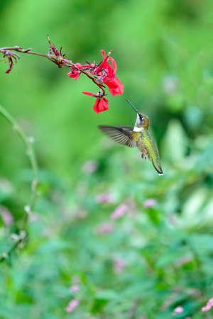 Hummingbird  Red Flower Stock fotó