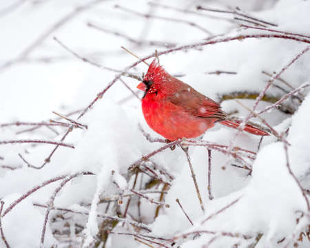 snow cardinal: Male Cardinal perched on branch in the Snow
