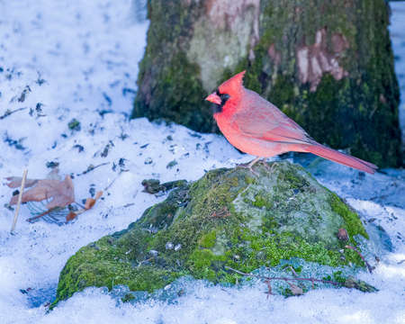 Male Cardinal perched on Moss Covered Rock in the Snow