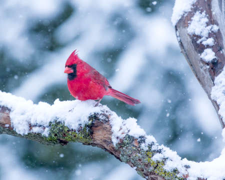 avian: Male Cardinal perched on branch in the Snow