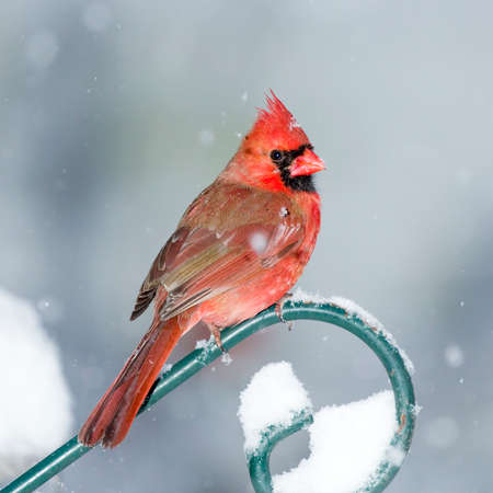 snow cardinal: Male Cardinal perched on Green Plant Hanger in the Snow Stock Photo