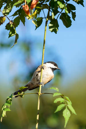 capped: Black Capped Chickadee