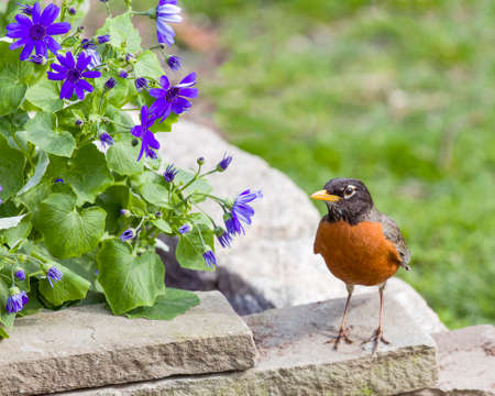 red breast: Robin Red Breast  perched on stone, Green Grass Background