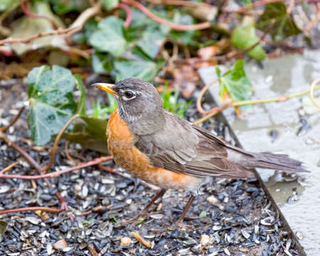 Robin Red Breast  perched on stone,Green Ivy Vine Background