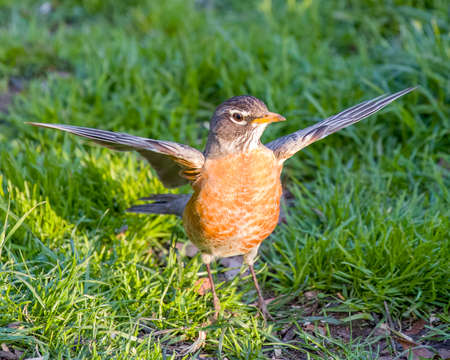 Robin Red Breast in Green Grass with wings full outstretched
