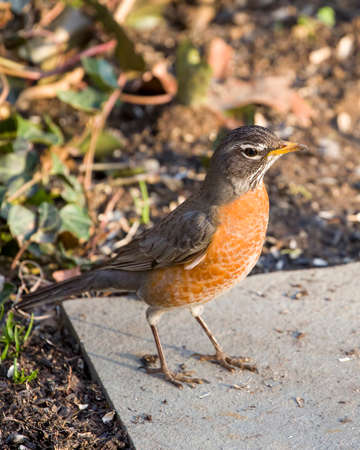 Robin Red Breast  perched on stone, Green Ivy Vine Background