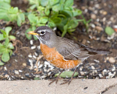 red breast: Robin Red Breast  perched on stone,Green Ivy Vine Background