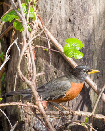 red breast: Robin Red Breast Perched on vine, wood and Green Background Stock Photo