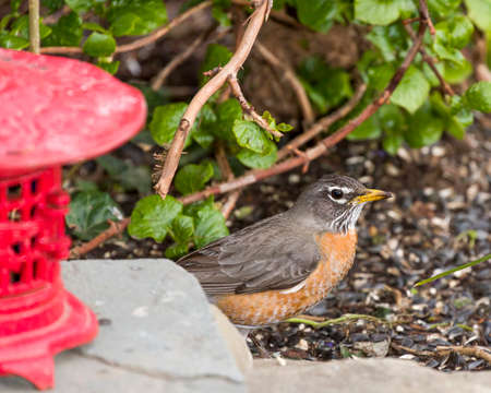 red breast: Robin Red Breast Perched by Red Japanese Lantern, Green Background