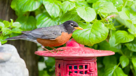 red breast: Robin Red Breast Perched on Red Japanese Lantern, Green Background