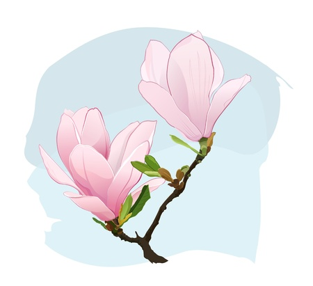 magnolia flower: Magnolia Flowers Illustration