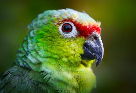 loros verdes: Retrato de loro amazona Foto de archivo