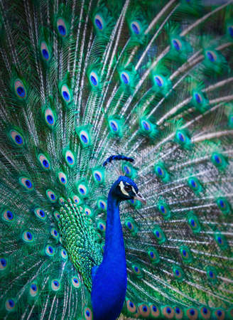 Portrait of peacock with colorful tail fully open