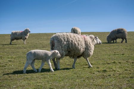 Little lamb with mother on pasture
