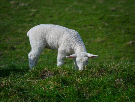 Little white baby lamb eating grass