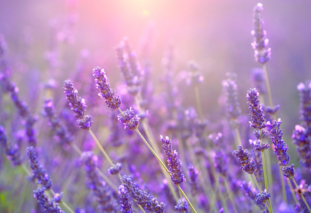 Lavender field at sunset. Provence, France