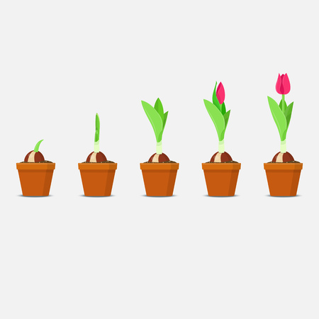 Process of tulip planting and growing. Plant Growth and Development. Vector illustration