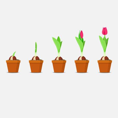 Proceso de plantación y crecimiento de tulipanes. Crecimiento y desarrollo de plantas. Ilustración vectorial Ilustración de vector