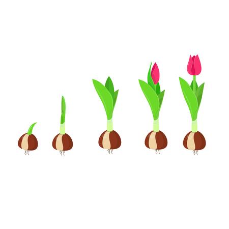 Etapa de crecimiento del tulipán. Crecimiento y desarrollo de plantas. Ilustración vectorial
