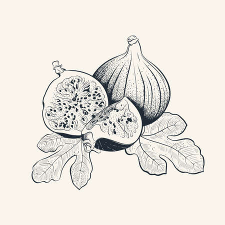 Fig fruit hand drawn illustration with leafs