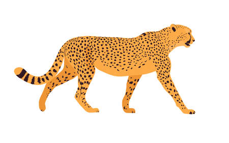 Realistic illustration of a cheetah. Cheetah standing in front of white background. Side view. Vector illustration