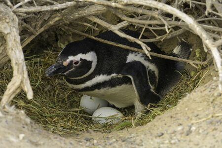 PENGUIN OF MAGALLANES WITH HIS TWO EGGS in PUNTA TOMBO PATAGONIA ARGENTINA