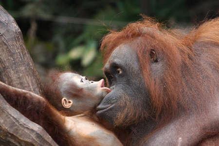biped: orangutans Stock Photo
