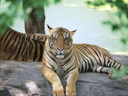 Tiger pose handsome look in a zoo. Stock Photo