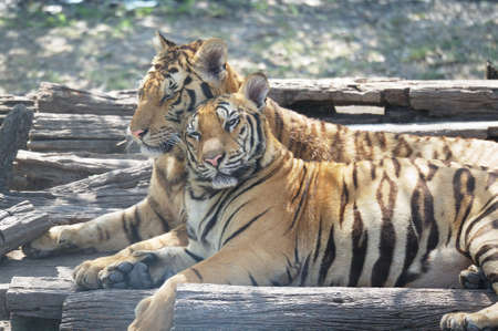 Couple of tigers with romance scene in a zoo.