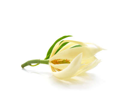 odorous: Champee Thai Flowers on white backgrounds Stock Photo